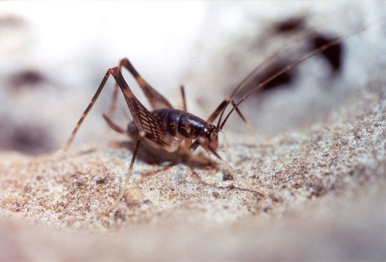 Rhaphidophoridae Florida Nature Unidentified Rhaphidophoridae camel crickets cave