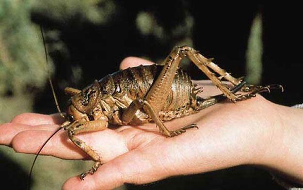 Rhaphidophoridae Weta families Anostostomatidae and Rhaphidophoridae Our Wild World