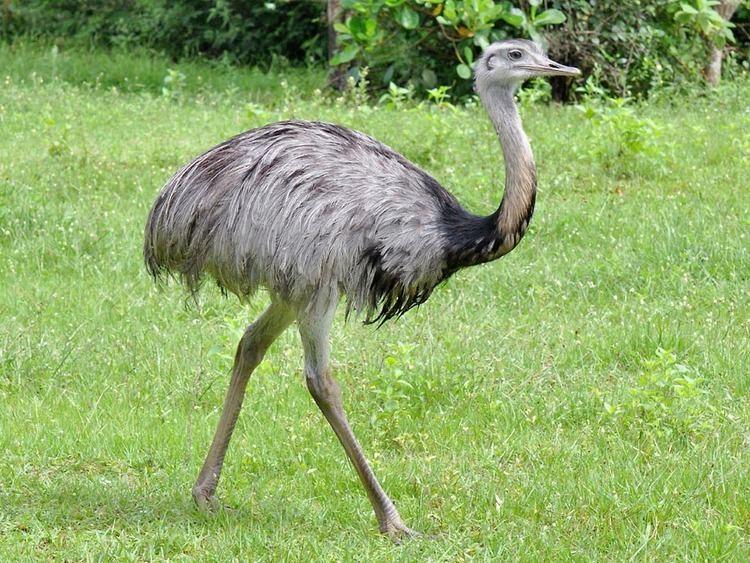 Ostrich bird animal wildlife coin Argentina 1 centavo