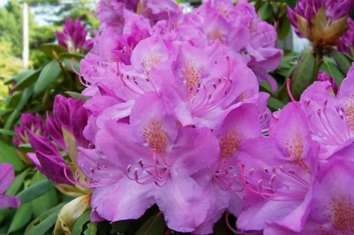 Rhododendron Rhododendrons and Azaleas How to Plant Grow and Care for