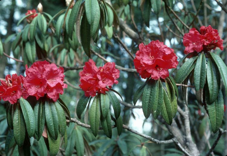 Rhododendron Arboreum Alchetron The Free Social Encyclopedia
