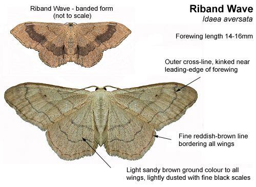 Riband wave Identifying Riband Wave and Plain Wave