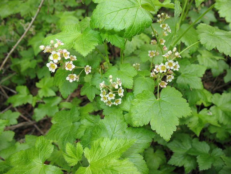 Ribes glandulosum - Alchetron, The Free Social Encyclopedia