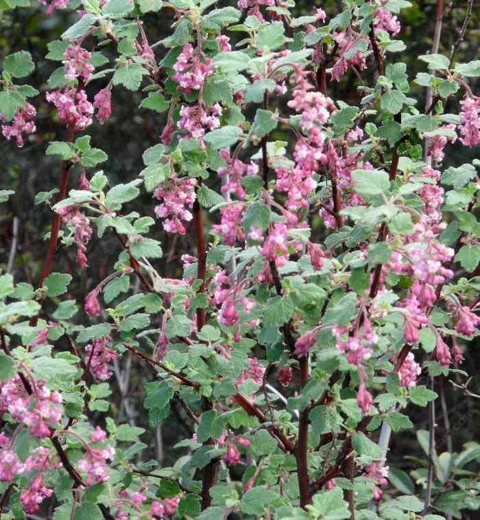 Ribes malvaceum Ribes malvaceum Pink Chaparral currant