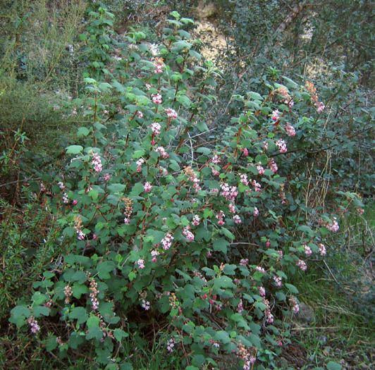 Ribes malvaceum Wildflowers NPS SAMO NRA Ribes malvaceum detail page