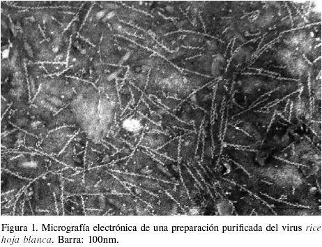 Rice hoja blanca virus - Alchetron, The Free Social Encyclopedia