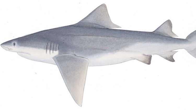 River shark Scientists go in search of elusive river shark Fox News