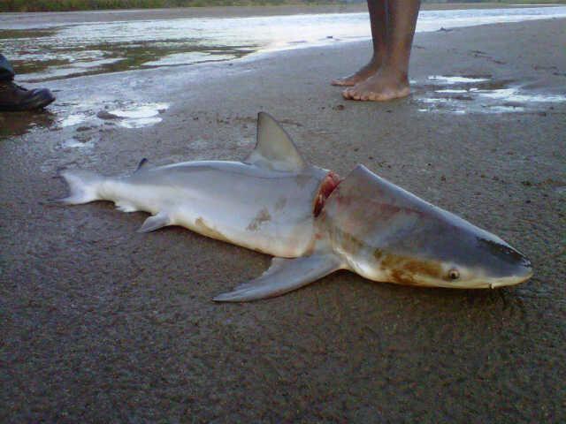 River shark Small Bull Shark killed by Rangers in South African River Shark