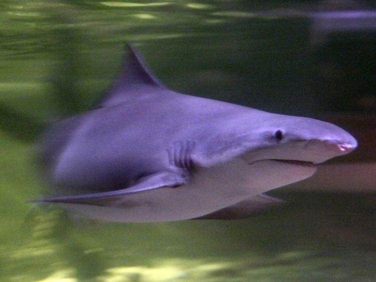 River shark River shark Wikipedia