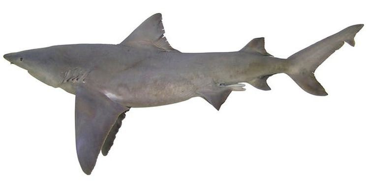 River shark River shark and blue goanna among 1000 new species discovered in New