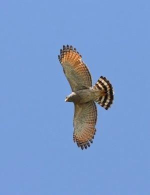 Roadside hawk Roadside Hawk BirdForum Opus