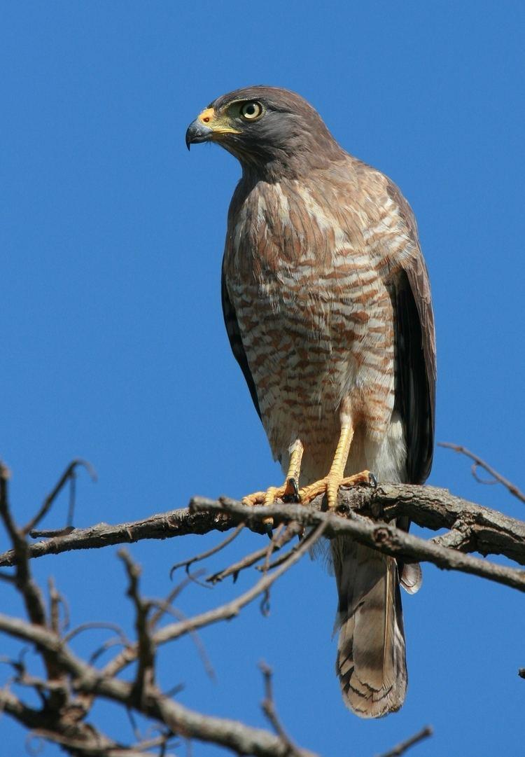 Roadside hawk Roadside hawk Wikipedia