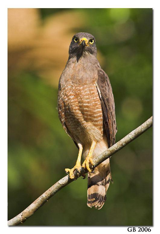 Roadside hawk HAWK