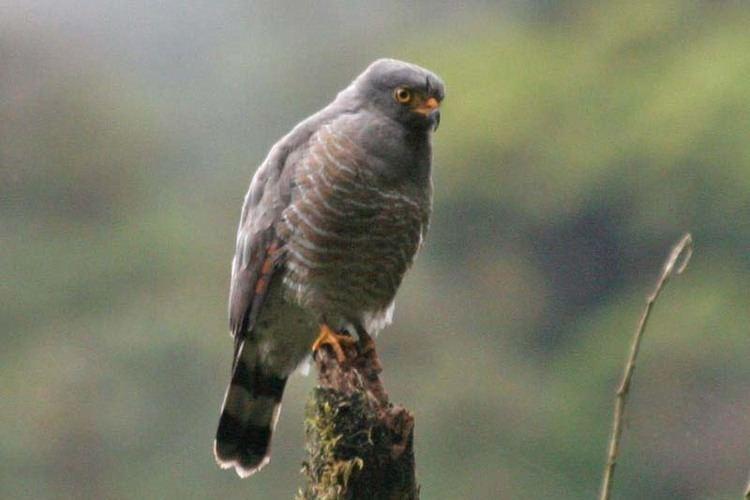 Roadside hawk Roadside Hawk