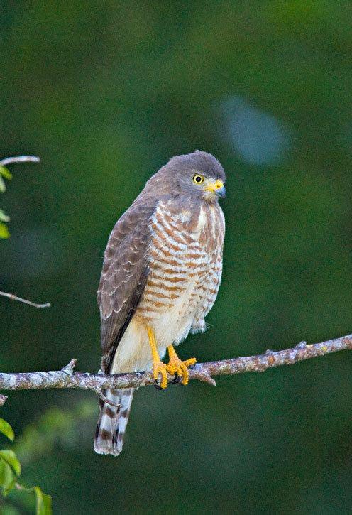 Roadside hawk greglasleycomimagesRORoadside20Hawk200019jpg