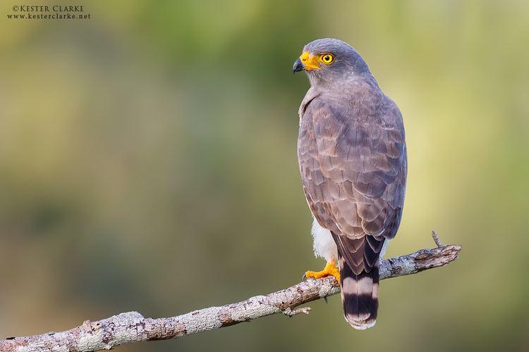 Roadside hawk Roadside Hawk Kester Clarke Wildlife Photography