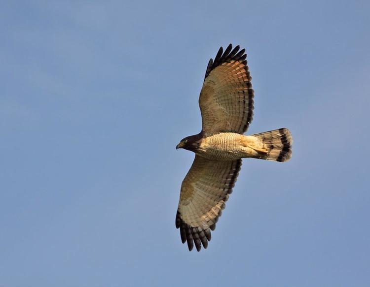 Roadside hawk Roadside Hawk Rupornis magnirostris Adult bird in flight the