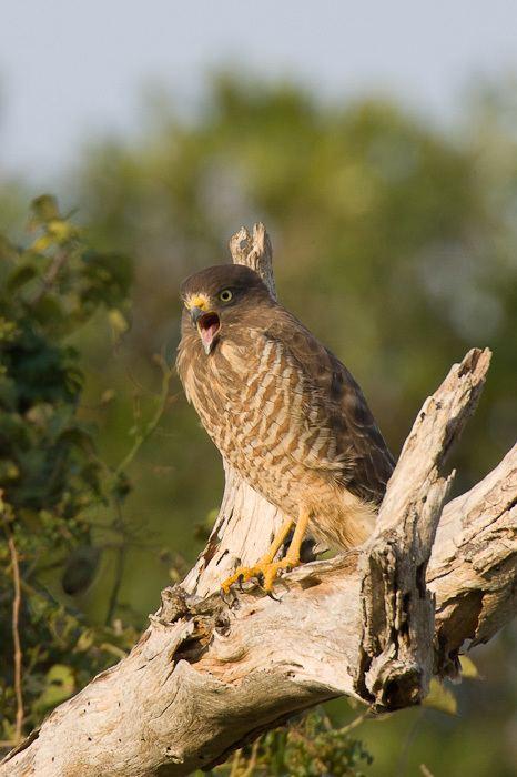 Roadside hawk Roadside Hawk Buteo magnirostris