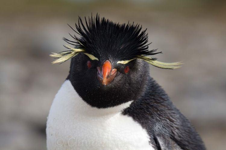 baby rockhopper penguin sounds - 750×500