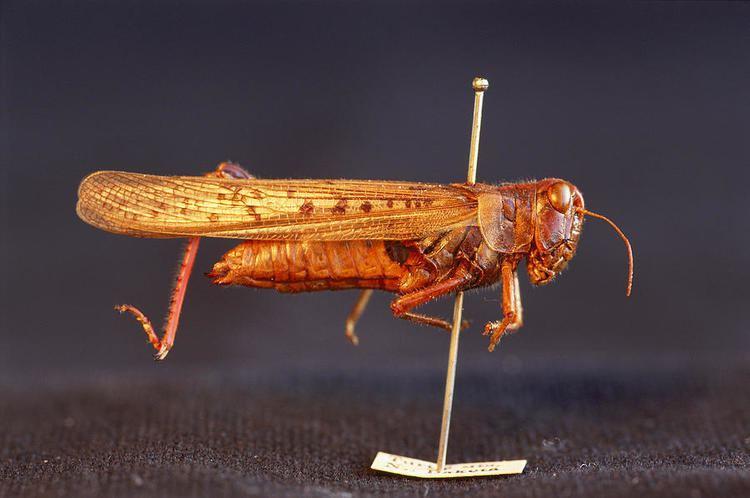 Resultado de imagem para rocky mountain locust