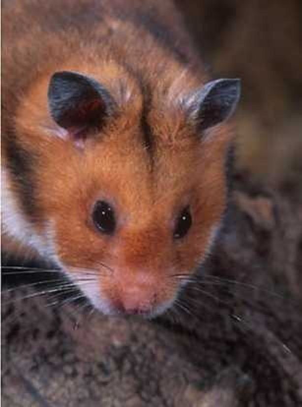 Romanian hamster httpsretrievermanfileswordpresscom201111r