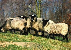 Romanov sheep - Alchetron, The Free Social Encyclopedia