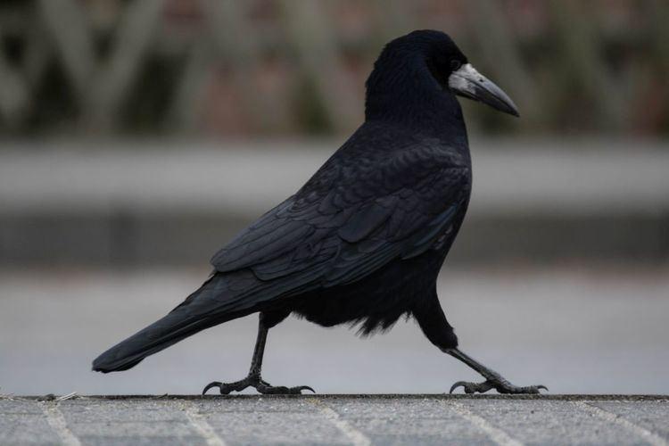 Rook (bird) Walking Rook Bird Diary of Dennis