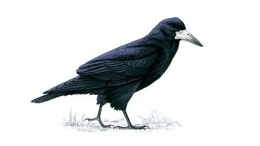 Rook (bird) The RSPB Rook