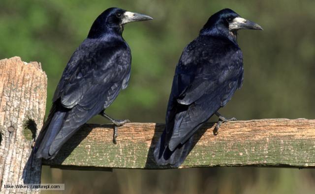 Rook (bird) BBC Nature Rook videos news and facts