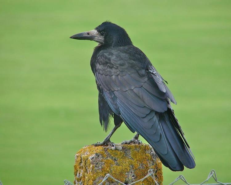Rook (bird) Rook New Zealand Birds Online