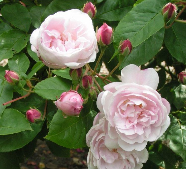 Rosa 'Blush Noisette' Blush Noisette Lilac Pink Scented Old Fashioned Climbing Rose