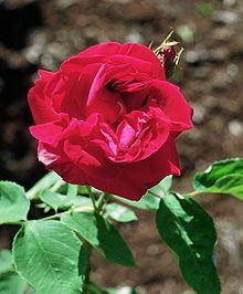 Rosa 'Général Jacqueminot' httpsuploadwikimediaorgwikipediacommonsthu