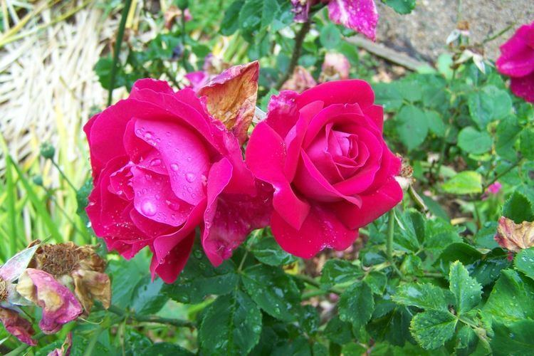 Rosa 'Général Jacqueminot' Hortus Camdenensis Rosa 39Gnral Jacqueminot39