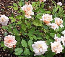 Rosa 'Perle d'Or' httpsuploadwikimediaorgwikipediacommonsthu