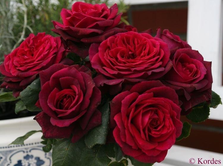 Rose Chamblee Rose Nursery