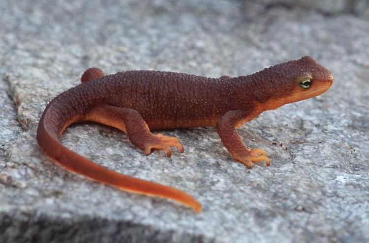 Rough-skinned newt CalPhotos Taricha granulosa Roughskinned Newt
