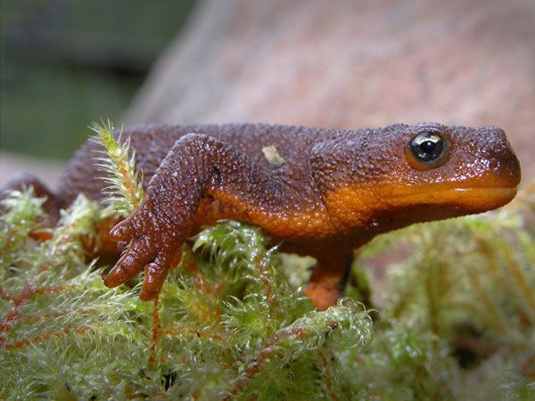 Rough-skinned newt Rough Skinned Newt Facts Habitat DietToxicity Pictures