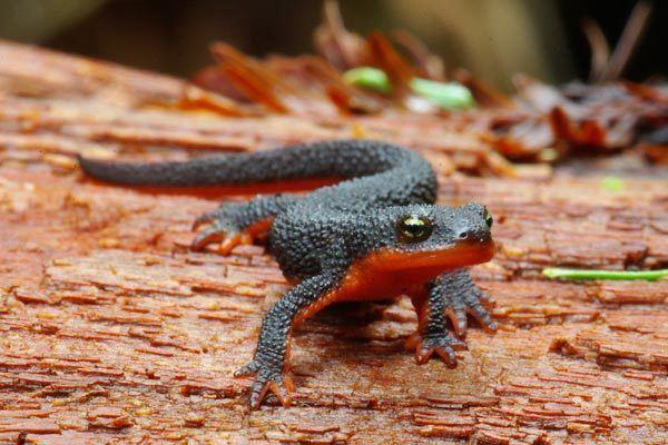 Rough-skinned newt Wild Herps Roughskinned Newt Taricha granulosa