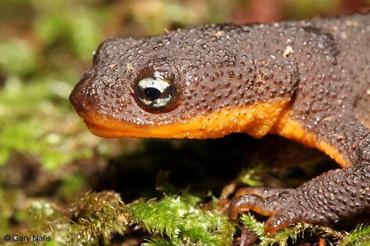 Rough-skinned newt wwwcaliforniaherpscomsalamandersimagestgranul