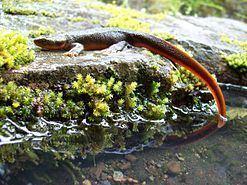 Rough-skinned newt Roughskinned newt Wikipedia