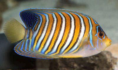 Royal angelfish animalworldcomencyclomarineangelsimagesRega