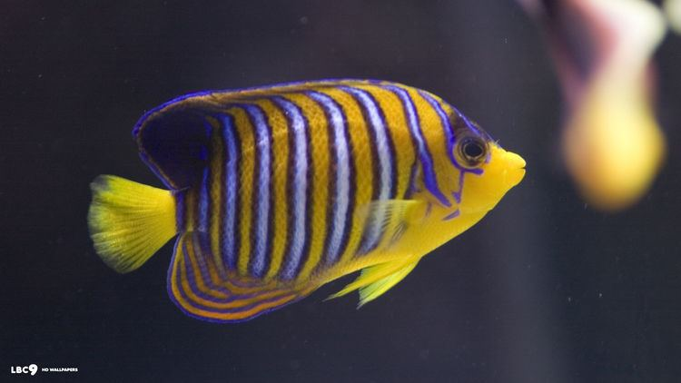 Royal angelfish regal angelfish wallpaper 317 fish hd backgrounds