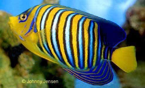 Royal angelfish Royal Angelfish Pygoplites diacanthus Tim39s Tropical Fish and