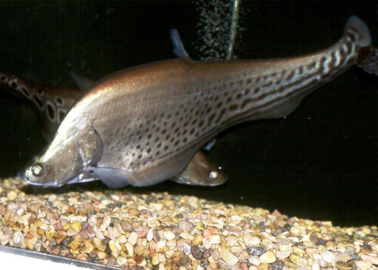 Royal knifefish FWPOD43