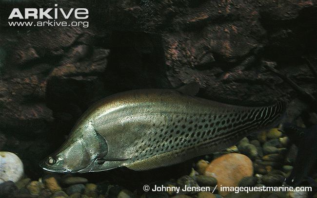 Royal knifefish Royal knifefish videos photos and facts Chitala blanci ARKive