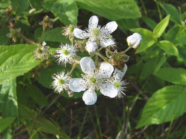 Rubus Genus Rubus blackberry Go Botany