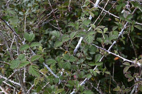 Rubus biflorus Rubus biflorus