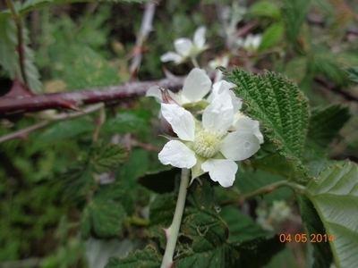 Rubus biflorus biodiversitybtbiodivobservationscd451417e459