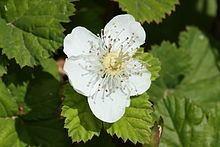 Rubus lasiococcus httpsuploadwikimediaorgwikipediacommonsthu