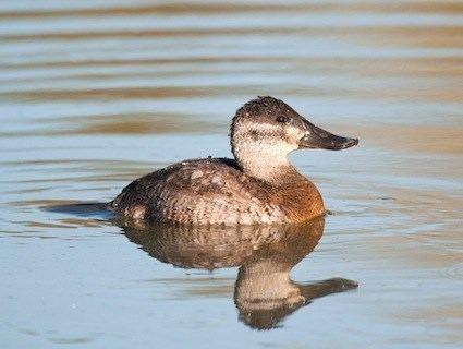Ruddy duck httpswwwallaboutbirdsorgguidePHOTOLARGEru